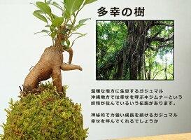 独特の樹形が人気【ガジュマルの苔玉・黒備前器セット】送料無料