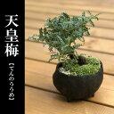 盆栽 小さな葉が無数におりなす天皇梅の盆栽 真山茜 炭化焼締鉢