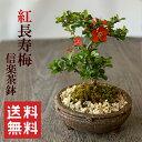 盆栽 紅長寿梅(べにちょうじゅばい)信楽焼茶鉢...