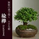 小さな無数の葉が描く大きな樹のある景色【楡欅(ニレケヤキ)の盆栽(信楽焼鉢)】