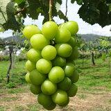 送料無料 シャインマスカット 4kg ブドウ ぶどう 葡萄 贈答 ギフト 信州 種無し 皮ごと 国産