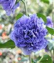ムクゲ 紫玉 (濃紫色八重咲き)
