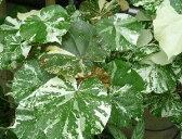 【5寸鉢植え】斑入り葉オオハマボウ(ユウナ)「☆」