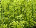 イギリスナラ コンコルディア(ヨーロッパナラ 黄金葉)