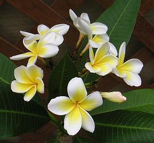 プルメリアの花