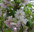 十月桜 桜 苗木 じゅうがつざくら ジュウガウザクラ【庭木 花木 桜 サクラ さくら】