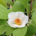 【椿苗木】 夏椿 涼風 3寸ポット植え 【花木庭木・椿・ツバキ・つばき】
