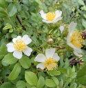 トゲナシノイバラ(棘無野薔薇)白花