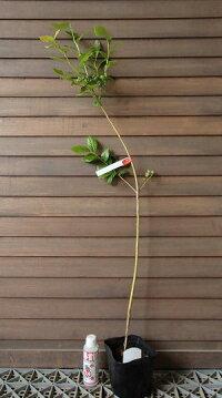 3年生苗ブルーベリーブルークロップ(ノーザンハイブッシュ系)《果樹苗》「☆」