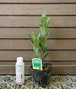 月桂樹(3寸ポット苗)*樹高40〜50センチ程度