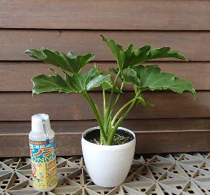 セロウム(セローム)3寸鉢植え