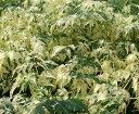 斑入り葉 センダン 接木 (樹高20〜40センチ程度) *斑