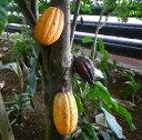 チョコレートの木(カカオの木)《熱帯果樹苗》