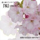 お部屋でお花見いかがですか?桜旭山13.5cmポット(盆栽さくらサクラ)