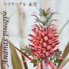 パイナップル赤実観賞用6号鉢観葉植物インテリア