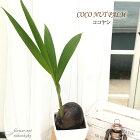 ココヤシ6号鉢陶器鉢送料無料観葉植物苗インテリアココナッツパームヤシの実