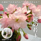 お部屋でお花見いかがですか?桜苔玉受皿付(盆栽さくらサクラ)