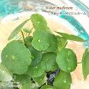 ウォーターマッシュルーム ビオトープ メダカの鉢に 水辺植物 9cmポットの写真