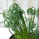 アルブカ スピラリス フリズルシズル(多肉植物 10.5cmポット)