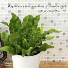 エメラルドウェーブ観葉植物クリスピーウェーブ4号プラ鉢