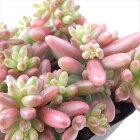 seセダムオーロラ多肉植物セダム9cmポット