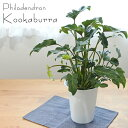 クッカバラ フィロデンドロン ザナドゥー 6号鉢 観葉植物...