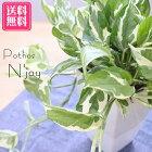 送料無料ポトスエンジョイN'joy5号鉢観葉植物