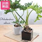 送料無料フィロデンドロンセローム5号スクエア陶器鉢観葉植物
