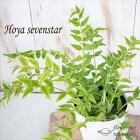ホヤセブンスター4号鉢サクラランホヤベラ観葉植物インテリア