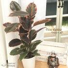 ゴムの木フィカスベリーズ6号鉢送料無料観葉植物苗インテリア赤ゴム