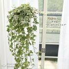 アイビーゴールデンチャイルド5号鉢吊り送料無料観葉植物苗インテリアヘデラ