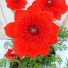 陽春の華麗な朱色アネモネフルゲンス吹き詰め咲き10.5cmポット