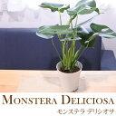送料無料! モンステラ デリシオサ 5号鉢 観葉植物 インテリアグリーン