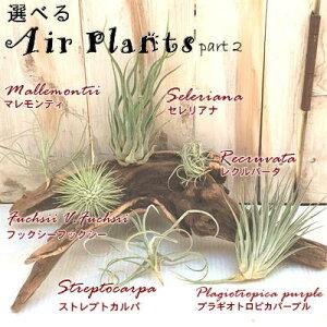 選べるエアープランツ チランジア Part2 エアープランツ エアプランツ 観葉植物