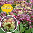カランコエサニーデイ新品種八重咲きウェンディ4号鉢