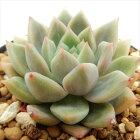 swkエケベリアPikachu(プロリフェラ×レッドエボニー)AirMagic多肉植物エケベリア7.5cmポット