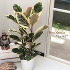 ゴムの木フィカスティネケ6号鉢送料無料観葉植物苗インテリア