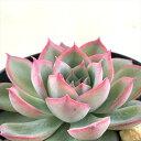 多肉植物 swkエケベリア シルエット 多肉植物 エケベリア 7.5cmポット
