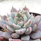 swkエケベリアフィチョル×黒爪ザラゴーサAirMagic多肉植物エケベリア7.5cmポット
