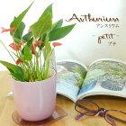 アンスリウムプチ3号鉢観葉植物アンスリューム