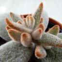 hmカランコエ 福兎耳変種 セピア 多肉植物 カランコエ 6cmポット