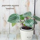 ペペロミア・アルギレイアサンデルシースイカペペ4号鉢観葉植物