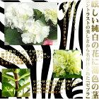 予約販売10月下旬以降発送ハイドランジアゼブラアジサイ花芽つき9cmポット