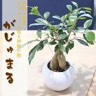 ガジュマル観葉植物インテリアガジュマルの木陶器鉢