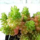 seセダムレッドベリー多肉植物セダム7.5cmポット