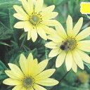 予約販売10月下旬以降発送 宿根草の咲く庭 ヘリアンサス レモンクイーン 大苗12cmポット