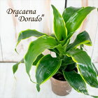 ドラセナドラド3.5号鉢観葉植物インテリア