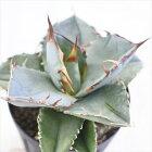 caアガベチタノタ多肉植物アガベコーデックス7.5cmポット