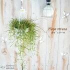 ホヤレツーサ4号鉢吊り鉢観葉植物インテリア