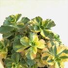 多肉植物sbセダムコーカサスキリンソウ気まぐれなレモンライム多肉植物セダム7.5cmポット